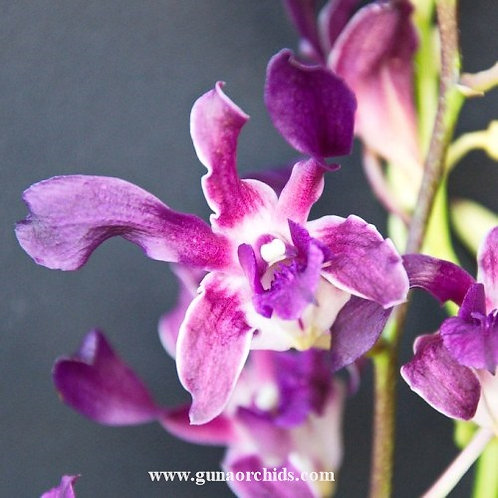 Dendrobium Spin Blue MS