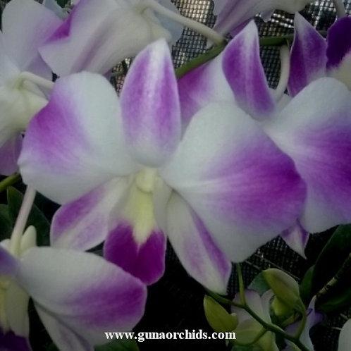Dendrobium Khamam MS