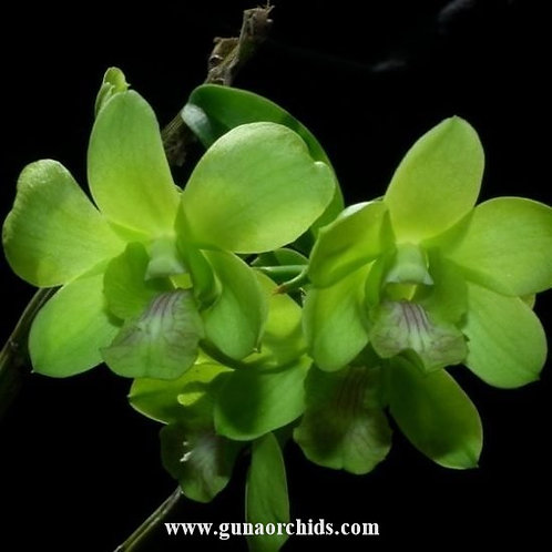 Dendrobium Olive Green MS