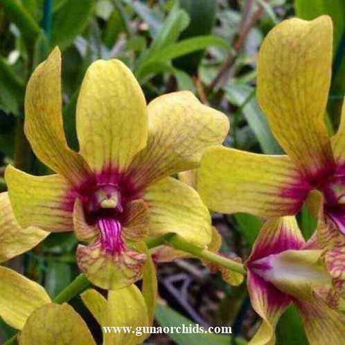 Dendrobium Surya Gold MS