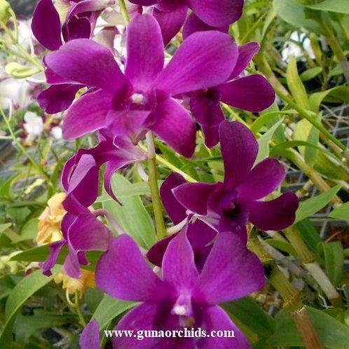 Dendrobium Petticoat x Garnet Beauty MS
