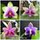 Thumbnail: Phalaenopsis Violacea x Bellina BS