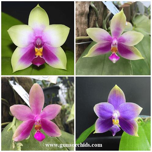 Phalaenopsis Violacea x Bellina BS