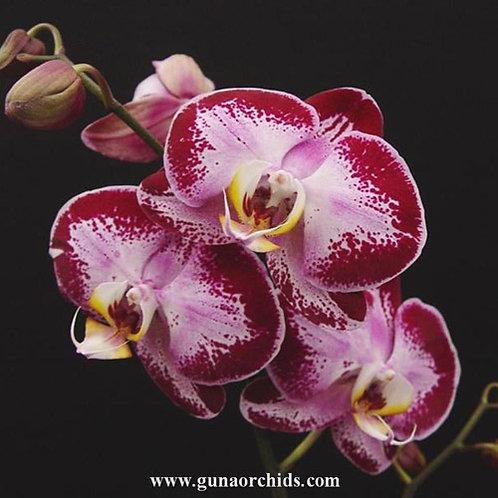 Phalaenopsis Fuller's Light BS