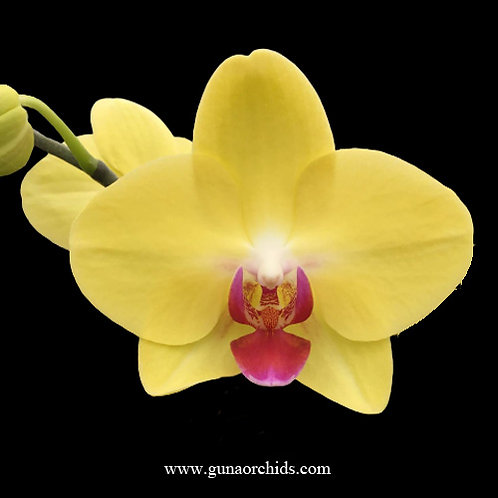 Phalaenopsis Fuller's Gold Princess BS
