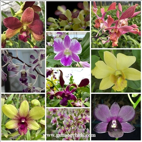 Dendrobium BS 10 Pack Combo