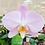 Thumbnail: Phalaenopsis Nobby's Pink Lady 'KM' x Lucky Girl BS