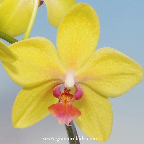Phalaenopsis Sin-Yaun Golden Beauty x Phalaenopsis Su-An Cricket BS