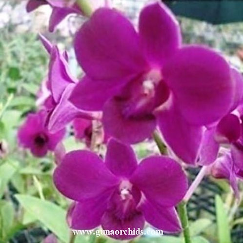 Dendrobium Charak Red MS