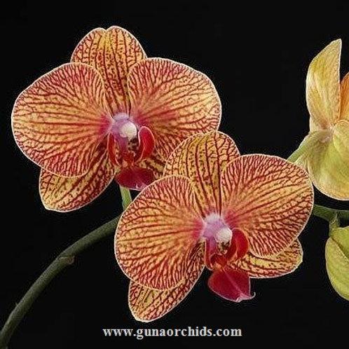 Phalaenopsis KV Beauty BS
