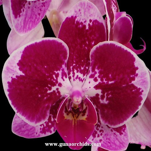 Phalaenopsis Fuller's Magic Edge BS