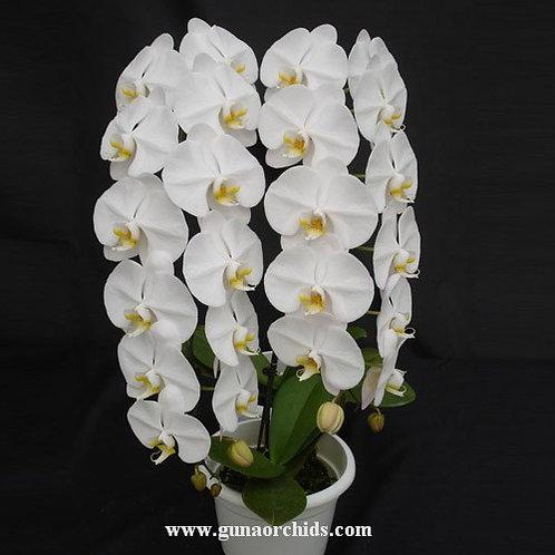 Phalaenopsis Sogo Yukidian BS
