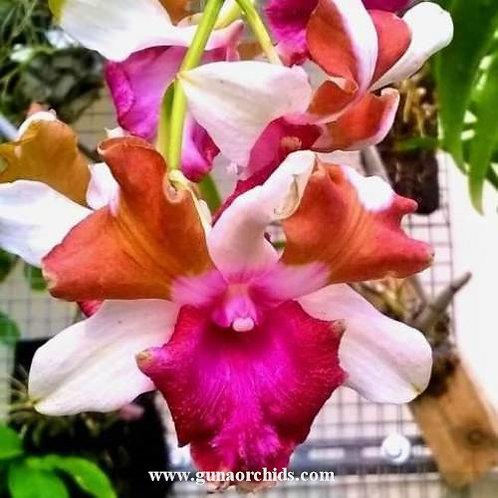 Dendrobium Nopporn Star Bright MS