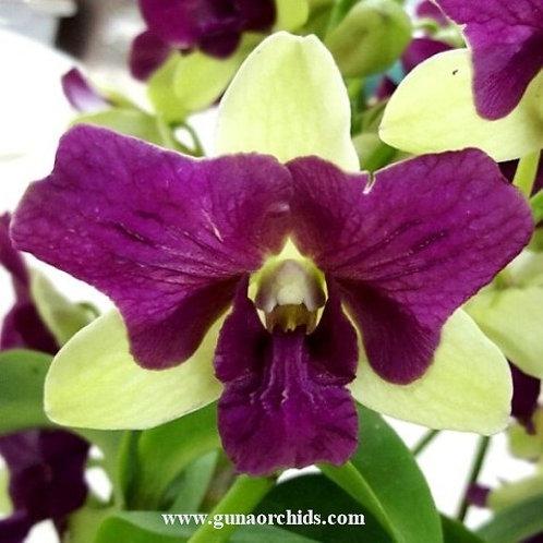 Dendrobium Parrot 3 Lips MS