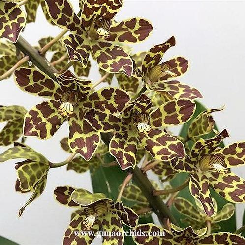 Grammatophyllum Broga Tiger BS