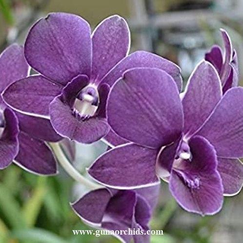 Dendrobium Umi Blue MS