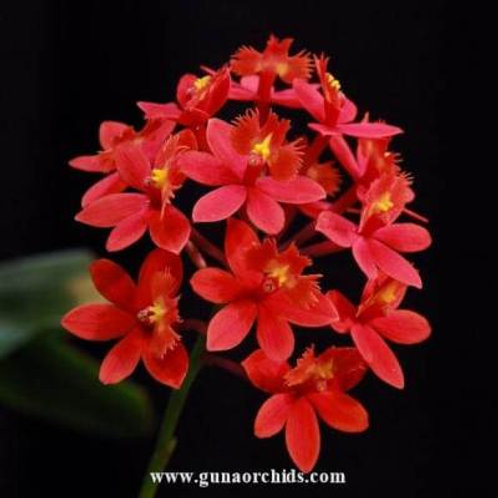 Epidendrum Big Red 'SOC' BS