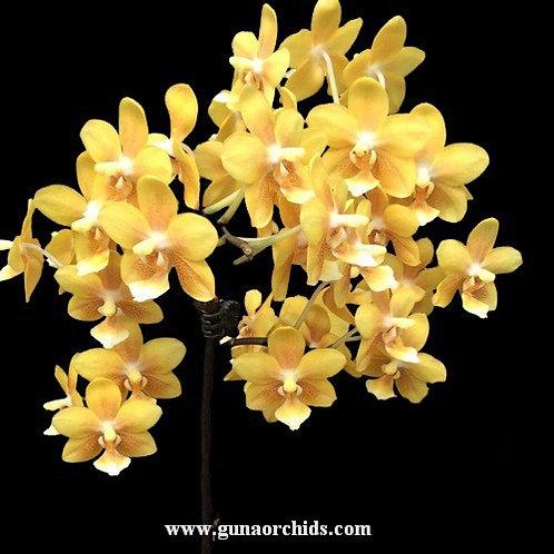 Phalaenopsis Giant Lin Fragrance BS