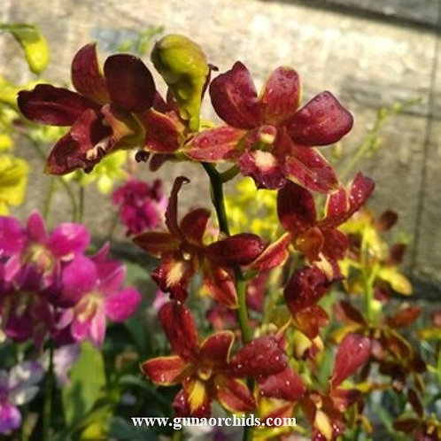 Dendrobium Coyote Red MS