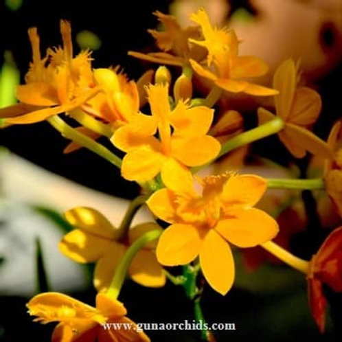 Epidendrum Peach BS