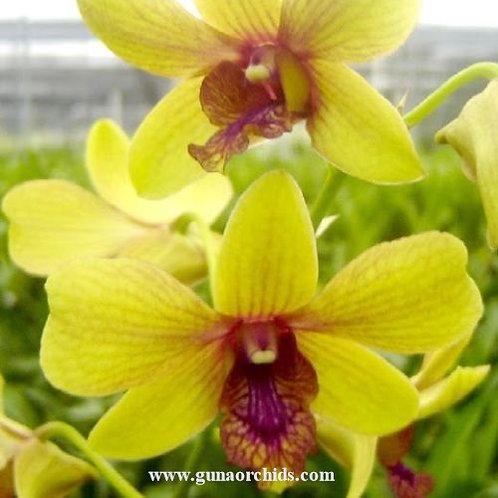 Dendrobium Thongchai Gold MS