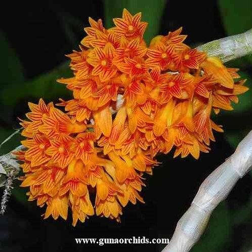 Dendrobium Bullenianum BS