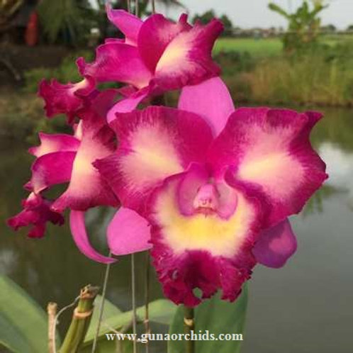 Cattleya Varut Palin x Mari's Song BS