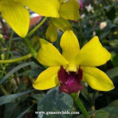 Dendrobium Thongchai Gold Luxana MS