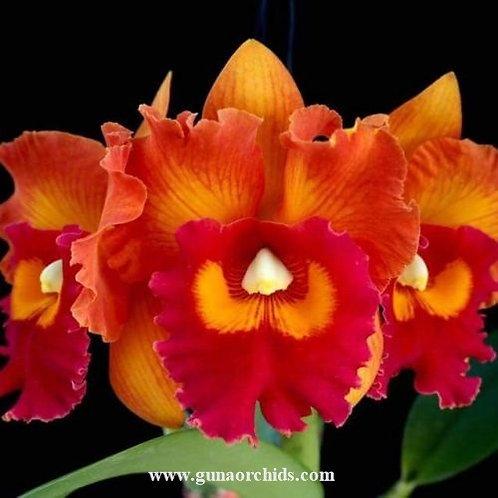 buy cattleya nakornchaisri delight #2 orchid online