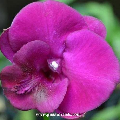 Dendrobium Redder MS