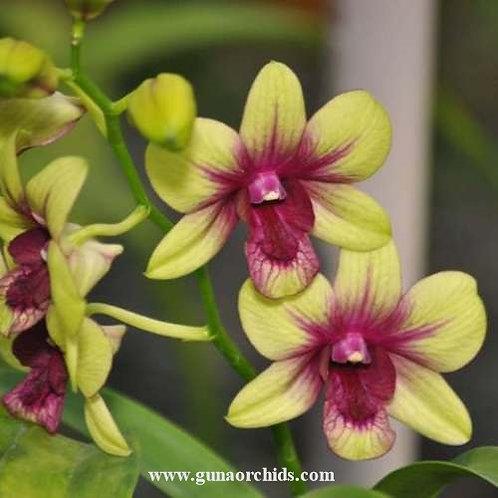 Dendrobium Aridang Green x Madam Vipa MS