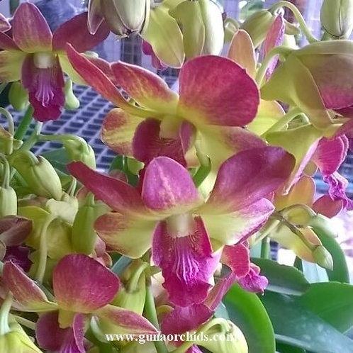 Dendrobium Morning Sun MS