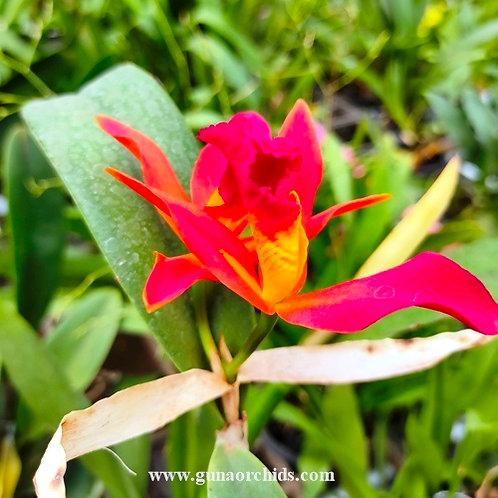 Cattleya Bangkok Orange BS