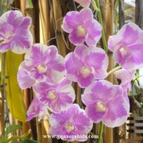 Dendrobium Manhanttan MS