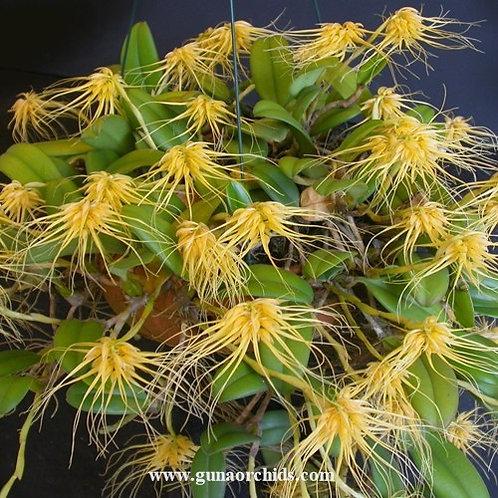 Bulbophyllum Vaginatum BS