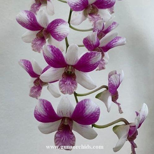 Dendrobium Triple Fantasy MS