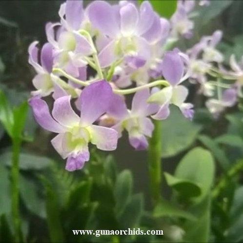 Dendrobium Blue Violetta x Sunan Blue MS