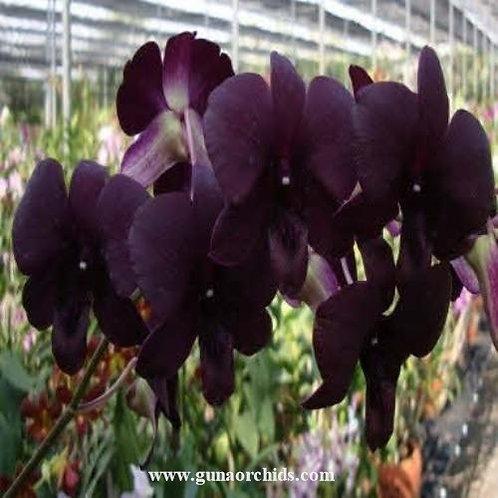 Dendrobium Black Pearl MS