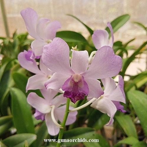Dendrobium Blue Amethyst BS
