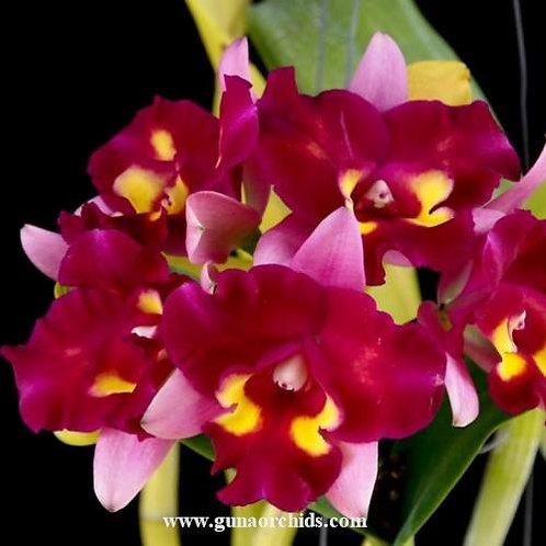 Cattleya Chomyong Beauty BS