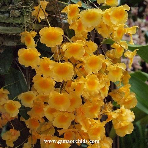 Dendrobium Lindleyi BS