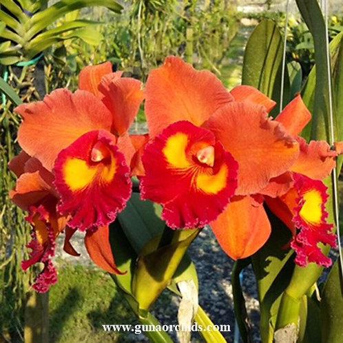 Cattleya Phai Leng Arom Gold BS