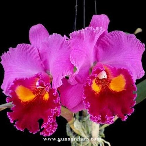 Cattleya Phet Ratsima BS