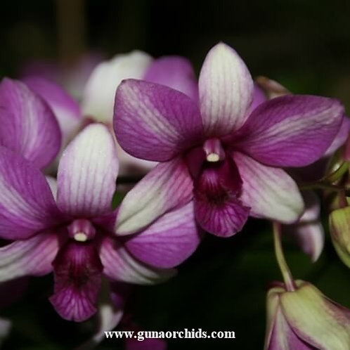 Dendrobium Bangkok Fancy MS