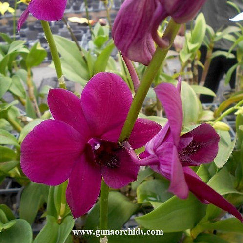 Dendrobium Red Maroon MS