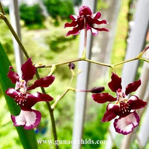 Oncidium Jairak Fragrance 'Ong-Khot' BS