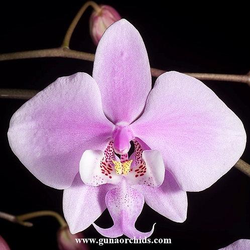 Phalaenopsis Schilleriana SS