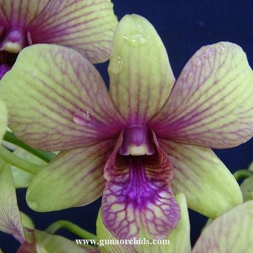 Dendrobium Emerald Fancy MS