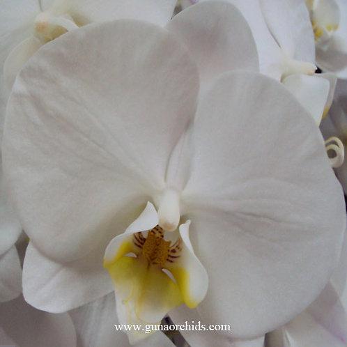 Phalaenopsis Charming Swan BS