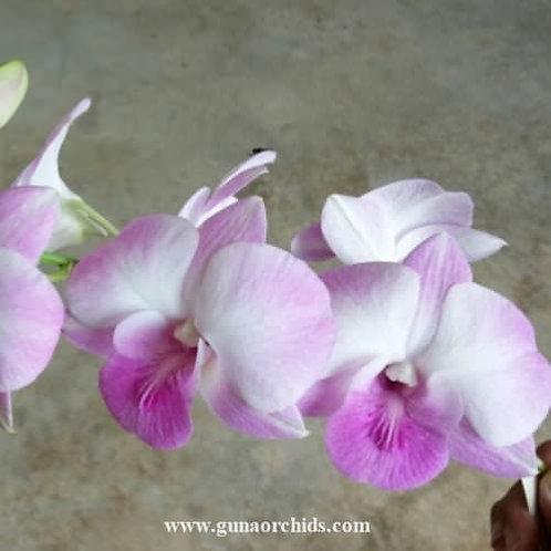 Dendrobium Burana Pearl x Burana White MS